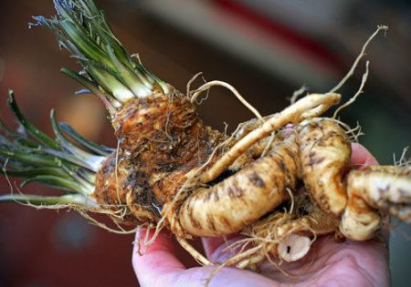 Growing Horseradish 101 - HOMEGROWN