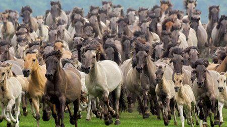 Konie - cudowne stworzenia: Dzikie mustangi