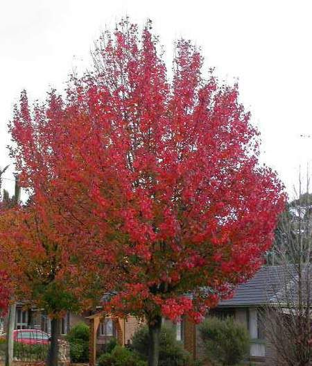 An Adaptable, Gorgeous Tree Fit For Every Landscape  -  The Autumn Blaze Flowering Pear Tree is a magnificent choice for every yard. This highly adaptable, durable and resilient tree is unmistakably stunning throughout the year. You can't go wrong by adding this tree to your landscape.  It has remarkable ornamental value in every season. To...