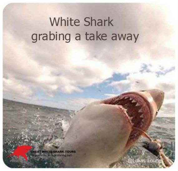 People often ask what is the most spectacular thing you have seen on a shark cage diving trip. The sight of a white shark breaching out of the water to grab a fresh tuna for lunch, win every time as  the ultimate experience on their trip