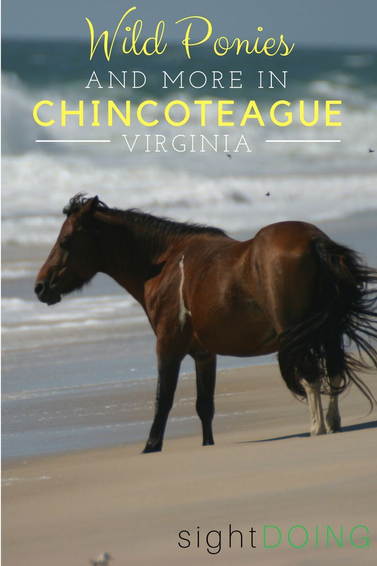 This one day itinerary for Chincoteague VA tells you where to find the wild ponies. Also great information for things to do in Chincoteague like biking, beaches, lighthouses and more on the Eastern Shore of Virginia. Plus Chincoteague restaurants and where to stay! Close to Norfolk, Virginia Beach, Washington DC, Baltimore, Annapolis, Ocean City, and Assateague.