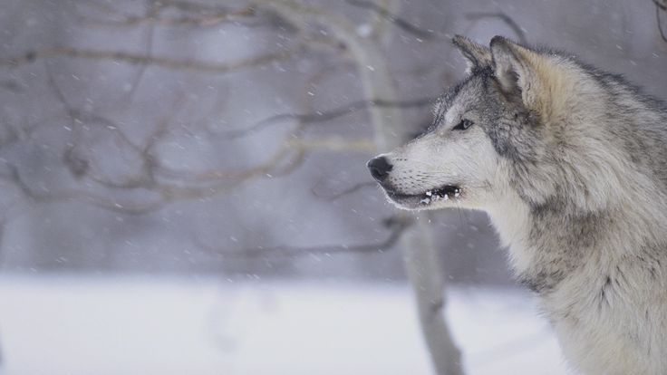 on All About Wolves  http://www.all-about-wolves.com/wp-content/gallery/free-wolf-photos-and-wallpaper/wolf-2.jpg