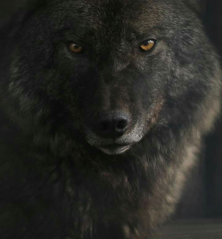 Lobo-cinzento.