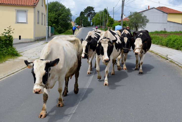 Cows on the road, Camino de Santiago Cycling