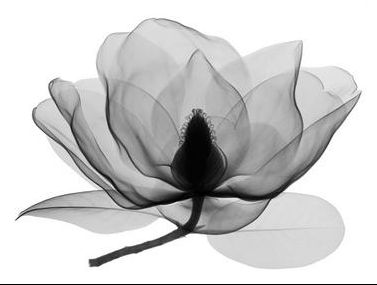 Xray Flower Picture Don Dudenbostel Inspiration