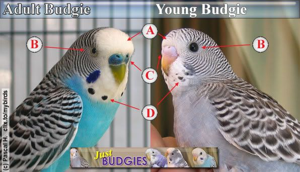parakeet age - Google Search                                                                                                                                                                                 More