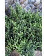 136 Best Images About Juniperus On Pinterest Sun Blue