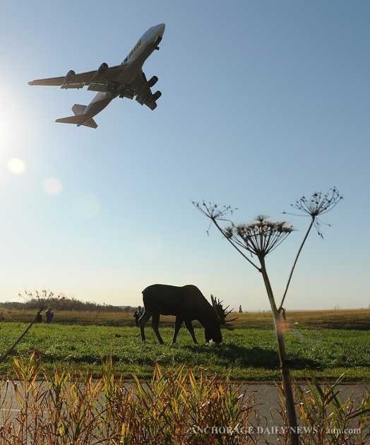 BULL MOOSE FEEDS NEAR THE END OF A RUNWAY AT THE TED STEVENS AIRPORT ANCHORAGE