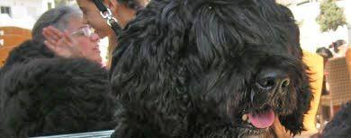 wasserhund portugiesischer - portu.ch