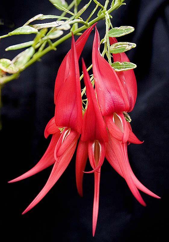 Kaka Beak Flower