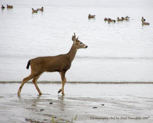 Coos Bay Oregon Deer