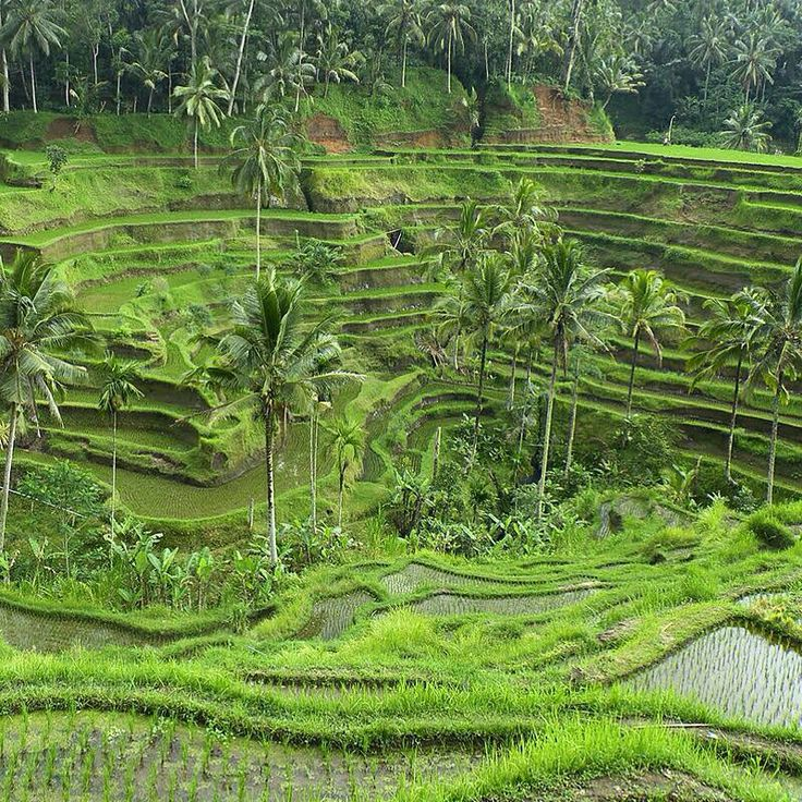 Rice Field - Ubud, Bali