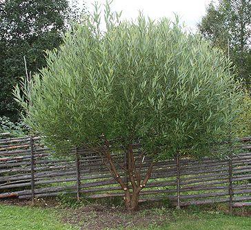 Salix fragilis 'Bullata'. Bollpil. Höjd 5-6 m. Snabbväxande träd med naturlig klotform och glänsande blågrönt bladverk. Sol till skugga. Små, gula 'kissar'. Gödsla på våren med natur- eller fullgödsel. (Höstgödsel på sensommaren) Beskärningstid: Juli-september (jas-perioden). Beskärning är inte nödvändig.