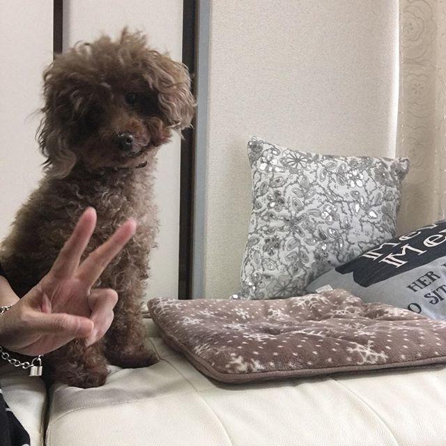 上手くツーショットが撮れなくて ピースサインだけ参加😆 首を傾げるところ好きです🐶♡ #愛犬  #トイプードル  #トイプー  #ツーショット