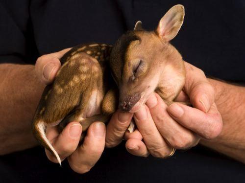 RupertCutest Baby, Baby Deer, Animal Pictures, Animal Baby, Sweets, Baby Baby, My Heart, Baby Animals, Cute Babies