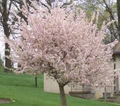 10 Best Trees For Small Yards... Japanese Maple, Crabapple, Redbud, Flowering Dogwood, Golden Chain Tree, Hawthorne, Chaste Tree, Mimosa, Serviceberry, and Japanese Tree Lilac.