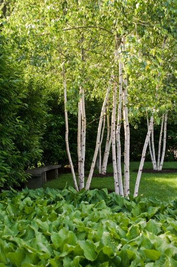 Landscaping With Paper Birch Trees : Best images about betula on gardens ferns