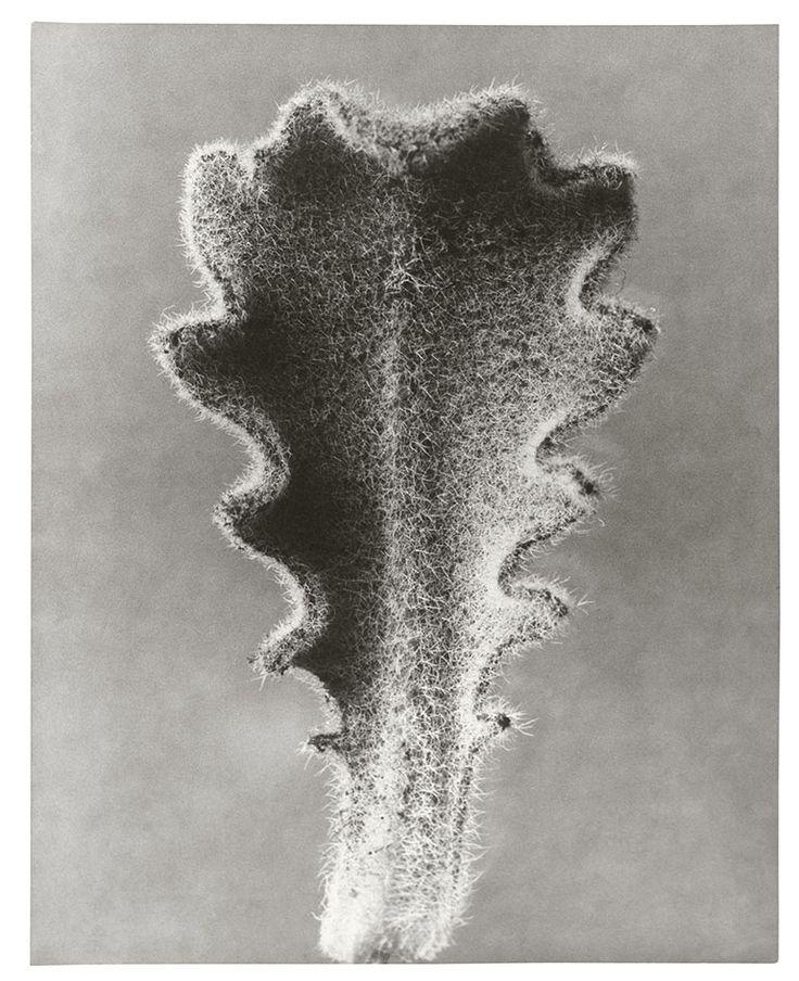 Hypochaeris radicata Hairy Catsear Young Leaf n.d. Gelatin Silver Print 30.1 x 25.8 cm