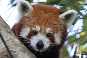Red Panda Weekend - Saturday 24 August and Sunday 25 August (10am - 3pm)  Come in and join us in celebrating the Nepalese red panda. There will be red panda encounters, facepainting and kids can get their photo taken with our friendly red panda character, Rufus.  http://www.aucklandzoo.co.nz/zoo-news/upcoming-events/red-panda-weekend.aspx