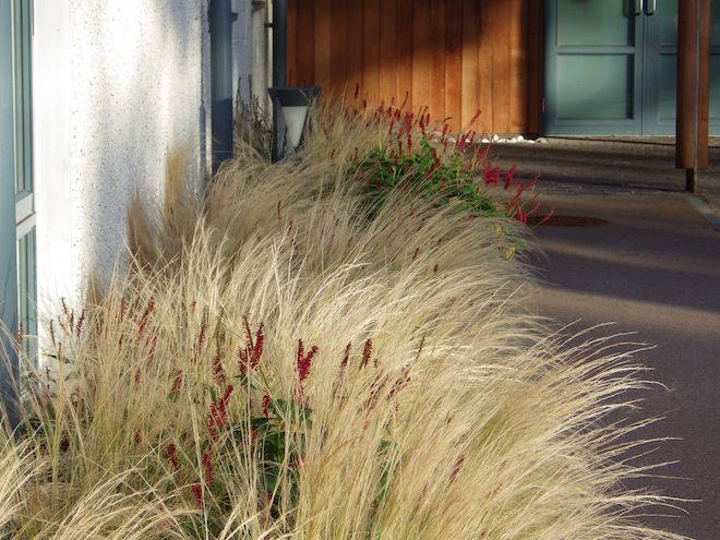 17 best images about gardening with grasses on pinterest for Hearty ornamental grasses