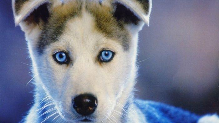 Siberian Husky Nature Dog Blue Eyes Wallpaper Wallpapers