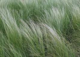 Image result for native grass