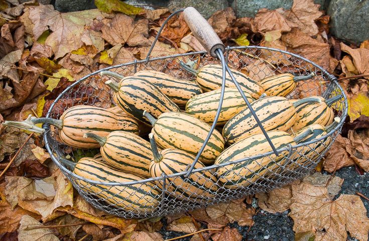 Honeyboat Delicata Winter Squash Seeds - GMO FREE -  Stores Well - 10 Seeds #theseedhouse