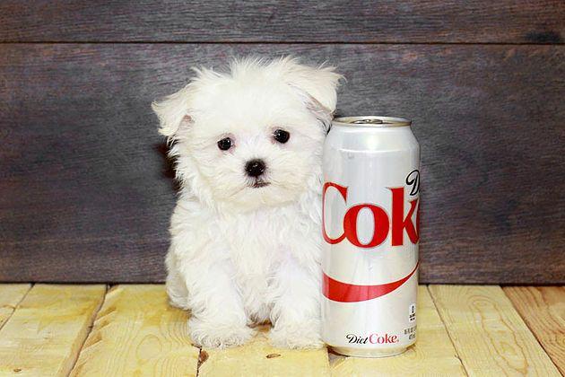 Puppies For Sale Columbus Ohio Sunrise Pups Small Breed Puppies Puppies For Sale Puppies Small Puppies