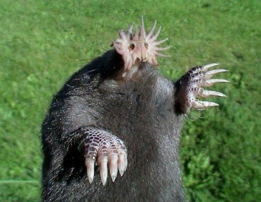 Oh, isn't he lovely? Star nosed mole, the little appendages  on their snout contain more than 25,000 sensory receptors