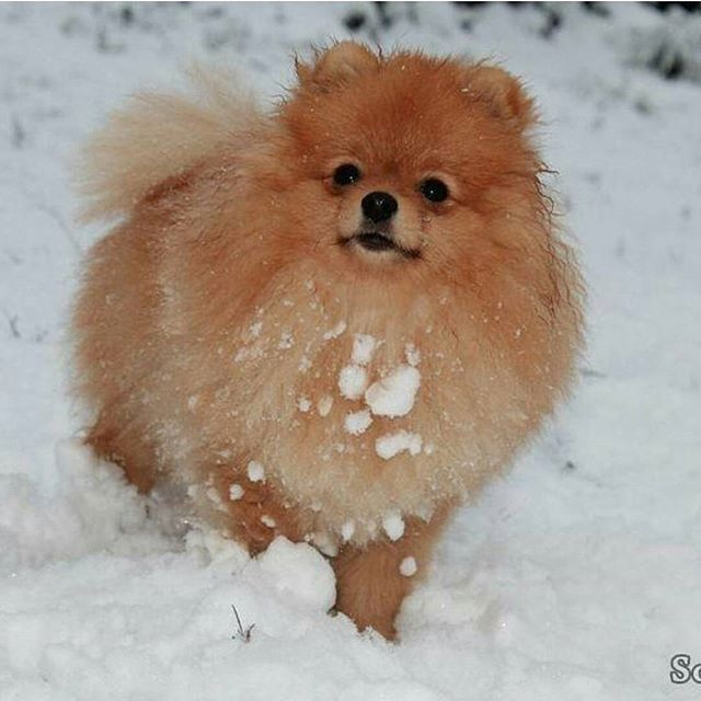❄❄❄ #beautiful #pom #instapet #puppy #toy #pomeranianpuppy #cute #cutedog #cutepuppy #pomeranianlove #dog  #love #dogs #špic #spitz #serbia #baby #doglover #pet #pets #cold #winter  @therock @natgeo @nba @vindisel @davidbeckham @neymarjr @instagram @selenagomez @cristiano @leomessi @kevinhart4real @justintimberlake @caradelevigne @jlo @justnbieber @taylorswift @9gag @zacefron @champagnapapi @ddlovato @kourtneykardash @badgalriri @mileycyrus @nickiminaj