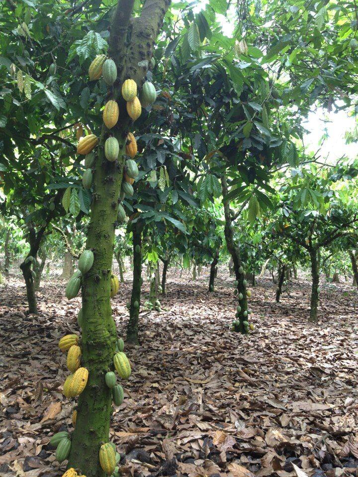Plantations are shaded by mainly banana trees