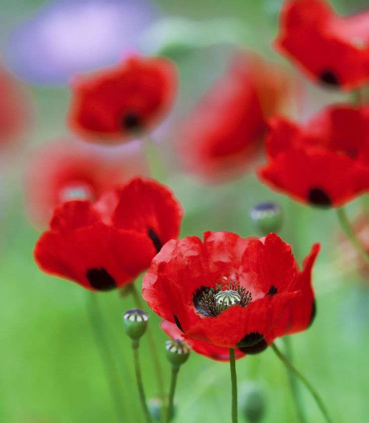 160 best poppies images on pinterest poppies red poppies and never forget remembering the tragedy of video from abc splash suitable for year 9 history mightylinksfo