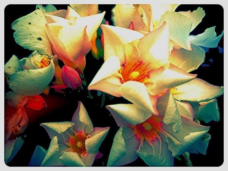 17 best images about oleander flowers on pinterest