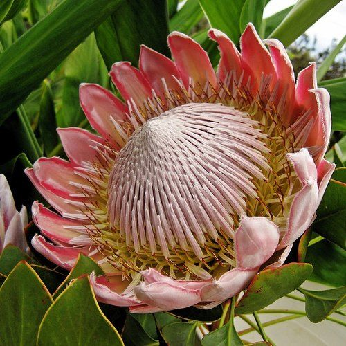 ★☯★ King Protea flower - South Africa's national emblem ★☯★ King Protea, Kirstenbosch National Botanical Gardens, Cape Town, South Africa