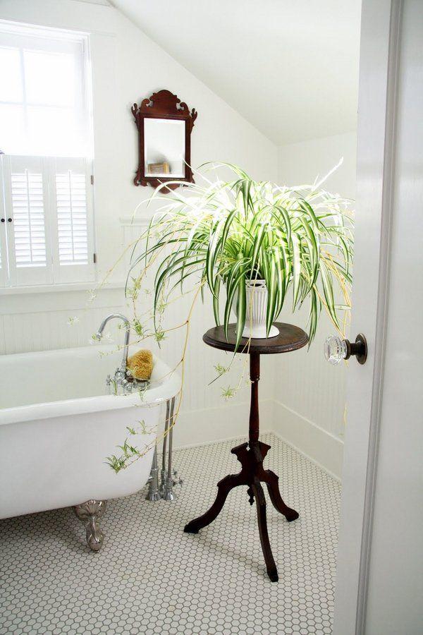plants for bathrooms spider plant Chlorophytum comosum