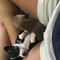 Raleigh, North Carolina Chihuahua. Meet Marcie, a for