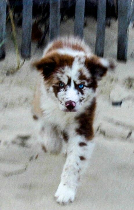 My next aussie...love the colors on this one♥