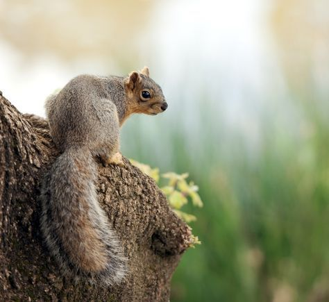 One of the best ways to get started in the outdoors and get accustomed to shooting is to go squirrel hunting. Squirrel hunting doesn't require a lot o...
