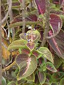 Coleus blumei was used by the Maztec indians in the same fashion of Salvia divinorum. It's phytochemistry is unique and does not contain the same alkaloids as Salvia. Learn more here http://botanicalguides.com/coleus-blumei-oneirogen.html