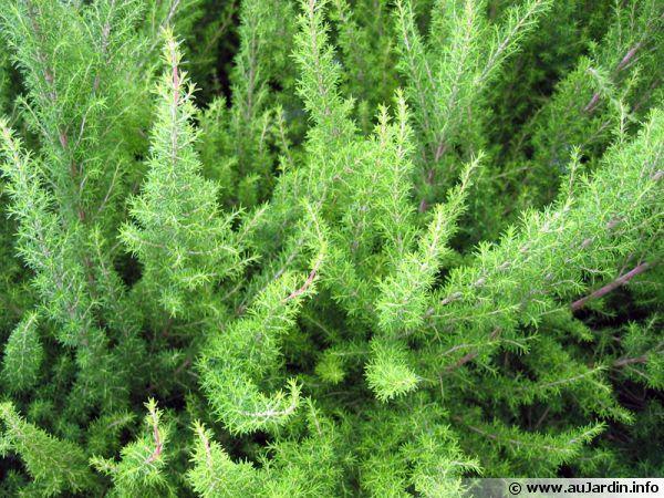 Bruyère blanche, Bruyère en arbre http://www.aujardin.info/plantes/erica-arborea.php