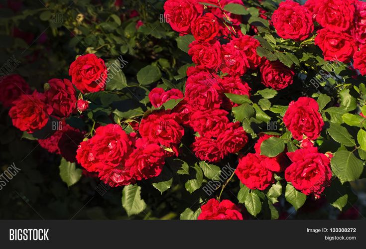 Climbing roses beautiful summer evening panoramic background
