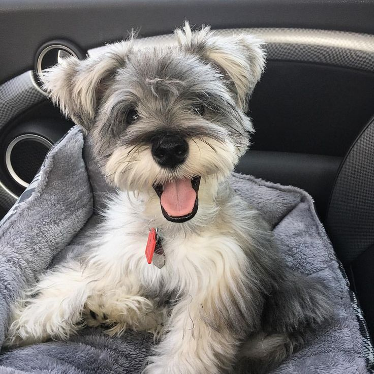 "140 Likes, 20 Comments - (wonder)Wally (@wonderwallythedog) on Instagram: ""On my way to the grandparents house to visit my uncles. • • • #happydog #smile #happy…"""