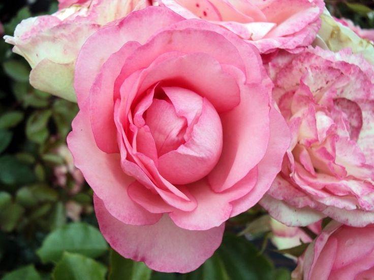 92 best pierre de ronsard rose eden rose images on pinterest climbing roses beautiful. Black Bedroom Furniture Sets. Home Design Ideas