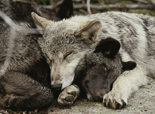 wolveswolves: Twenty weeks old Gray wolf pups (Canis lupus) from the Sawtooth pack - Pictures by Jim and Jamie Dutcher  Head-bite is best, bu...