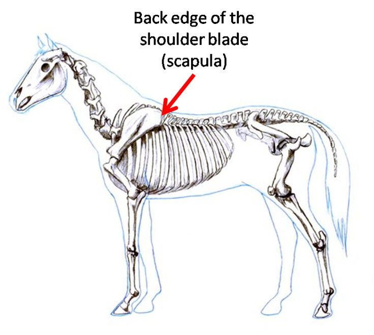 How to measure for the best fitting saddle horse anatomy