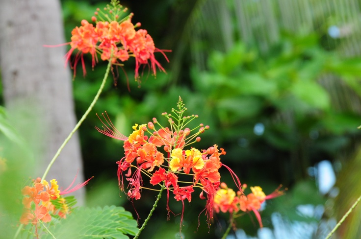 Caribbean Flowers: Flamboyant Flowers Illes De Saints, Guadeloupe