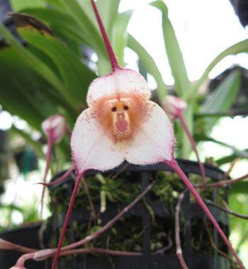 foto-imagem-orquidea-dracula-simia-rara-cara-de-macaco