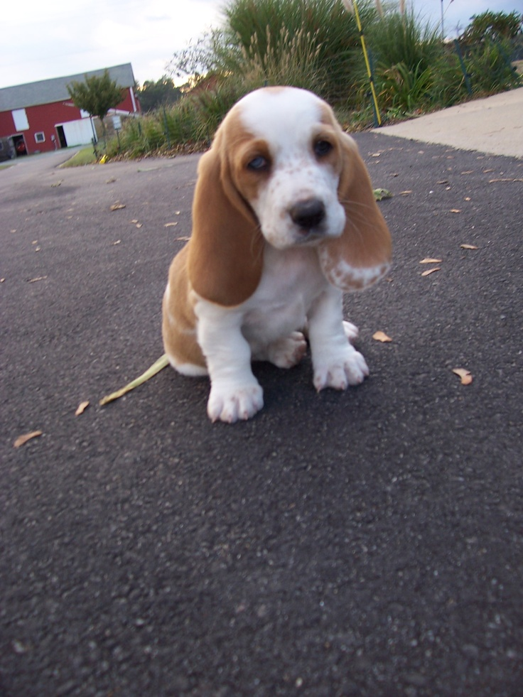 Sweet Pea at about 5 wks old (lemon and white Basset hound ...