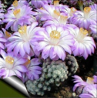 20seeds Cactus Rebutia Variety Mix Exotic Flowering Color Cacti Rare Cactus Aloe Seed Office Mini Plant Succulent Planting #clothing,#shoes,#jewelry,#women,#men,#hats,#watches,#belts,#fashion,#style