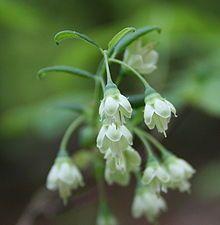 deerberry Vaccinium stamineum flowers 1.JPG